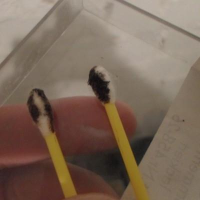 Biofilmabstrich (getrocknet und schwarz) aus Leitungen, die mit Epoxydharz beschichtet wurden.